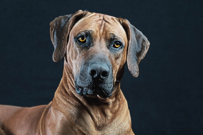 ridgeback portrait by What a Picture Photography